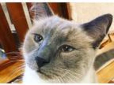 Adopt Dr. Octagon a Cream or Ivory (Mostly) Siamese (short coat) cat in