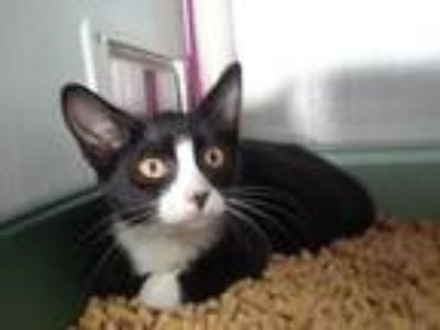 Adopt Tabitha a Black & White or Tuxedo Domestic Shorthair / Mixed cat in