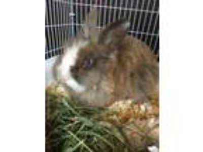 Adopt 42250822 a Chocolate Other/Unknown / Other/Unknown / Mixed rabbit in