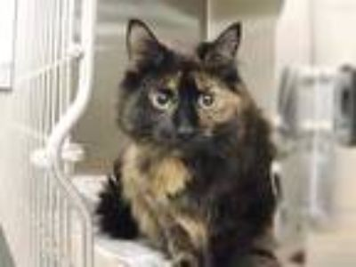 Adopt NETTE a Tortoiseshell Domestic Longhair / Mixed (long coat) cat in