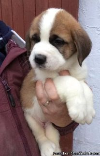 Puppy For Sale Classified Ads In Forest Lake Minnesota Clazorg