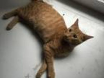 Adopt Roo a Domestic Short Hair, Tabby