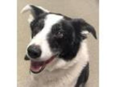 Adopt STUE a Black - with White Border Collie / Mixed dog in Point Pleasant
