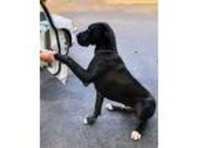 Adopt George a Black - with White Great Dane / Mixed dog in Hazard