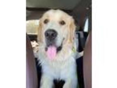 Adopt Goldy a White - with Tan, Yellow or Fawn Great Pyrenees / Golden Retriever