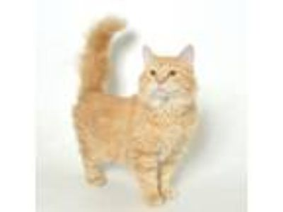 Adopt Maddie a Domestic Medium Hair