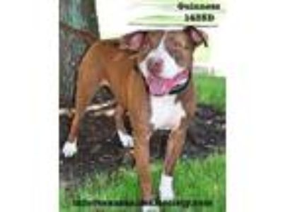 Adopt Guiness a Pit Bull Terrier, Terrier