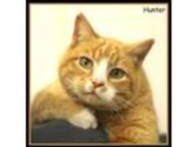 Adopt Hunter a Orange or Red Domestic Shorthair / Domestic Shorthair / Mixed cat