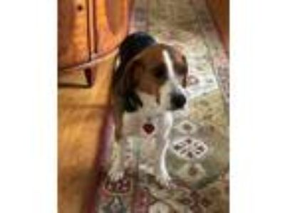 Adopt Tripp a Tricolor (Tan/Brown & Black & White) Beagle / Mixed dog in
