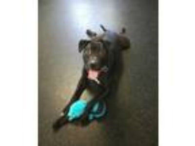 Adopt Daffodil a Black American Pit Bull Terrier / Mixed dog in Glenville