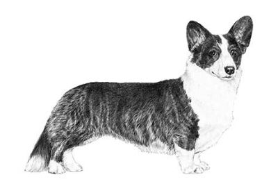 Cardigan Welsh Corgi Puppies