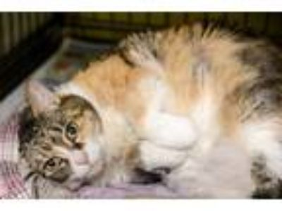 Adopt Summer (Inkspot) a Domestic Short Hair