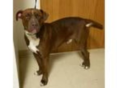 Adopt Ruger a Red/Golden/Orange/Chestnut - with White Pit Bull Terrier / Mixed