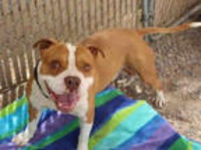 Adopt EDDIE a Tan/Yellow/Fawn - with White American Pit Bull Terrier / Mixed dog