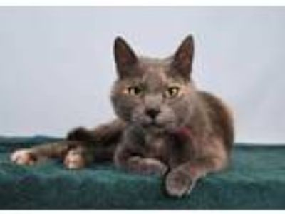 Adopt a Gray or Blue Domestic Shorthair / Mixed (short coat) cat in Loveland