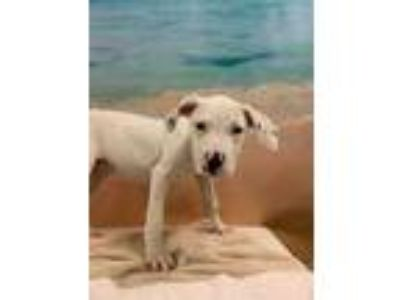 Adopt JENNIE a White German Shorthaired Pointer / Mixed dog in Tangent