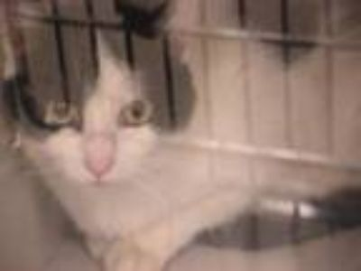 Adopt Feral 34185 a Domestic Shorthair / Mixed cat in Napa, CA (25551168)
