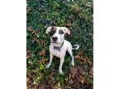 Adopt Buster a White - with Black American Pit Bull Terrier / Boxer / Mixed dog