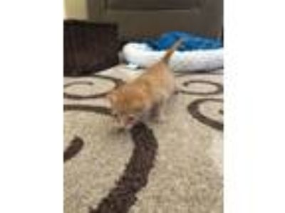 Adopt A104480 a Domestic Short Hair