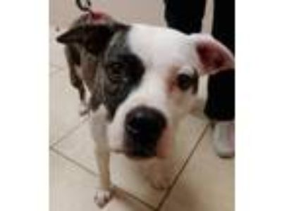 Adopt Georgia a Brindle - with White Boxer / Pit Bull Terrier / Mixed dog in