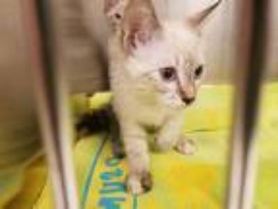 Adopt *JEANIE a Brown or Chocolate (Mostly) Siamese / Mixed (short coat) cat in