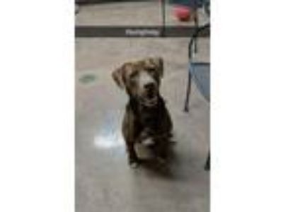 Adopt Humphrey a Brown/Chocolate Labrador Retriever / Mixed dog in Wilmington
