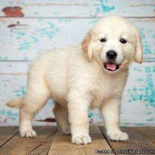 Lovely Golden Retriever Puppies To Good Homes.