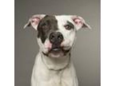 Adopt Chad a Pit Bull Terrier