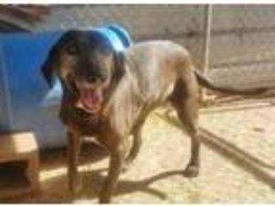 Adopt Dazzle a Labrador Retriever