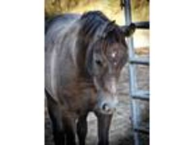 Grey Arabian gelding looking for a lifetime friend and partner