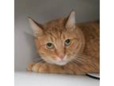 Adopt OLIVER a Orange or Red Tabby Domestic Shorthair / Mixed (short coat) cat