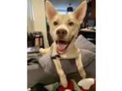 Adopt Barkley - Application Pending a Husky, Mixed Breed