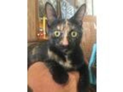Adopt Yara a All Black Domestic Shorthair / Domestic Shorthair / Mixed cat in