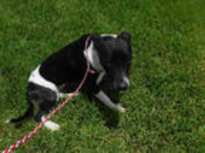 Adopt DON a Black - with White Terrier (Unknown Type, Medium) / Mixed dog in