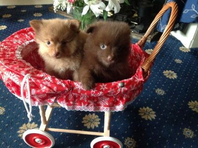 Chocolate & Caramel Pomeranian Puppies Ready Now