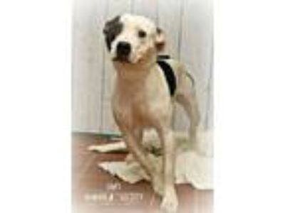 Adopt Oaky a Pit Bull Terrier