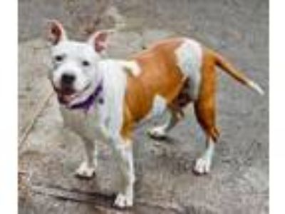 Adopt M`Lady a Pit Bull Terrier, Mixed Breed