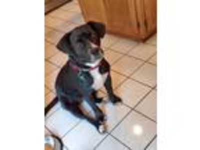 Adopt Kayla a Black Labrador Retriever / Beagle / Mixed dog in Aurora
