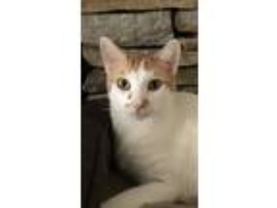 Adopt Butter a White (Mostly) Domestic Shorthair (short coat) cat in Winston