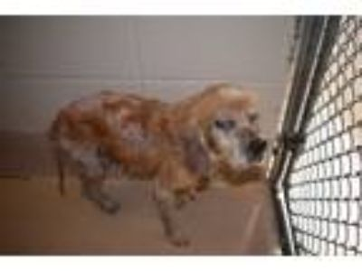 Adopt Pen 177 a Cocker Spaniel