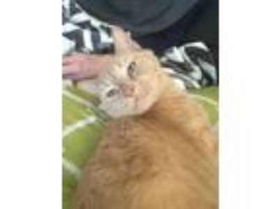 Adopt Frankie a Orange or Red Tabby Domestic Shorthair / Mixed (short coat) cat