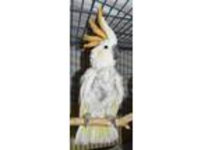 Adopt Laurie Kathleen Coolidge a Cockatoo