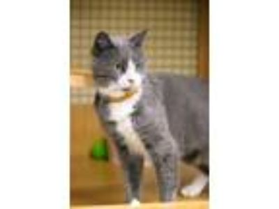 Adopt Becky a Gray or Blue (Mostly) Domestic Shorthair (short coat) cat in