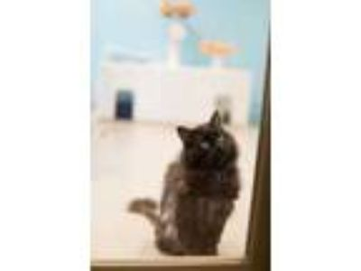 Adopt Lark a All Black Domestic Longhair / Domestic Shorthair / Mixed cat in