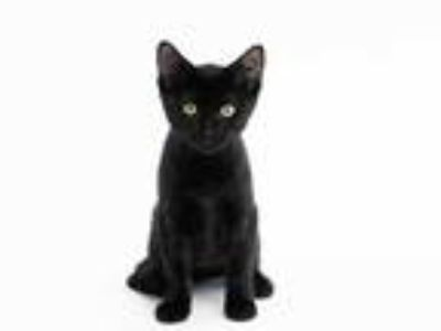 Adopt MARCUS a All Black Domestic Shorthair / Mixed (short coat) cat in St.