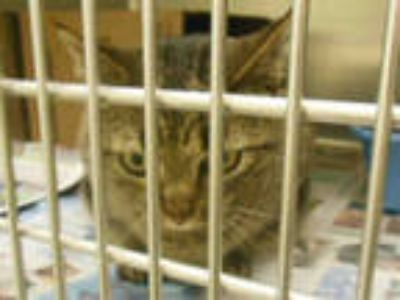 Adopt TWINKY a Gray, Blue or Silver Tabby Domestic Shorthair / Mixed (short