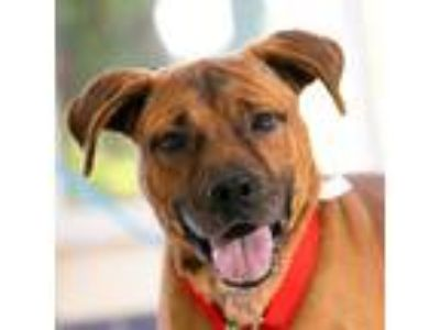Adopt Bullet - video! a Brown/Chocolate Labrador Retriever / Boxer / Mixed dog