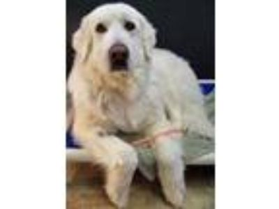 Adopt Sawyer a Maremma Sheepdog, Great Pyrenees