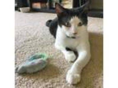 Adopt Oreo a Black & White or Tuxedo Domestic Shorthair / Mixed (short coat) cat