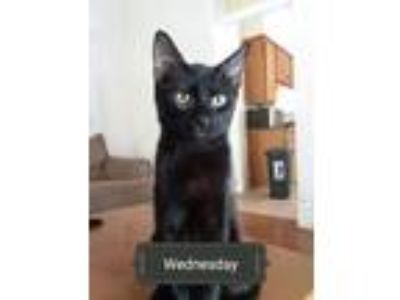 Adopt Wednesday a All Black Domestic Shorthair / Mixed cat in Fort Smith